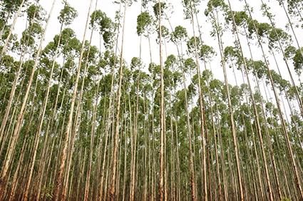No brasil o uso de eucalipto na indústria tem se intensificado. Além de produzir vários materiais como celulose e biomassa, traz diversos beneficios. Veja