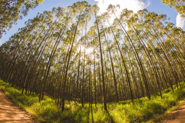 Confira todos os usos do eucalipto na industria