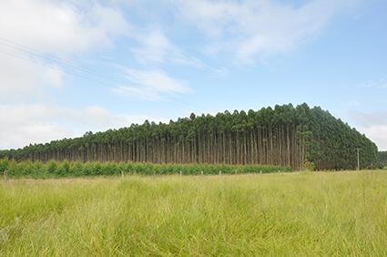 Setor Agroflorestal de eucalipto