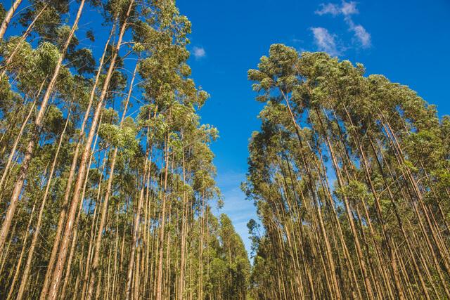 caracteristicas do eucalipto - confira todas