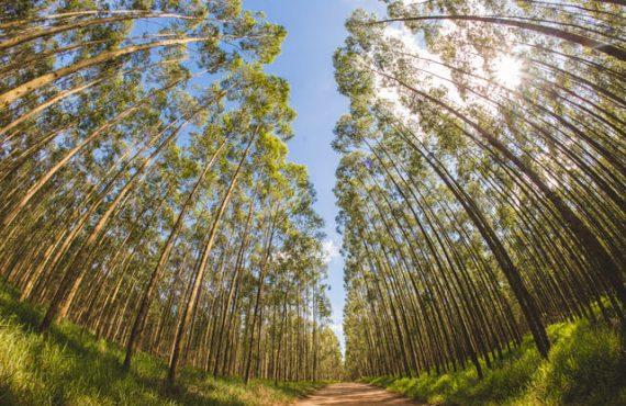 florestas de eucalipto