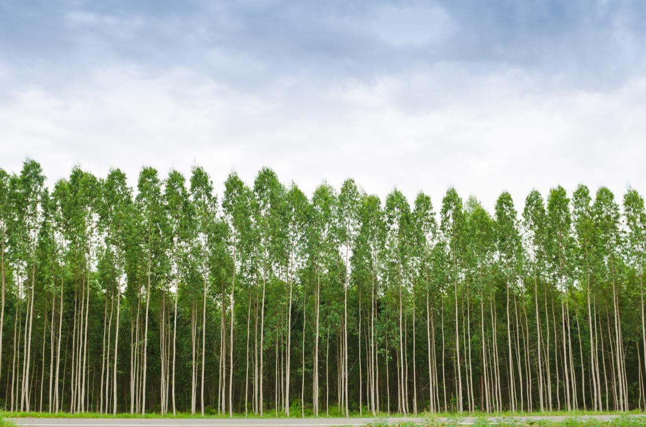 reflorestamento comercial