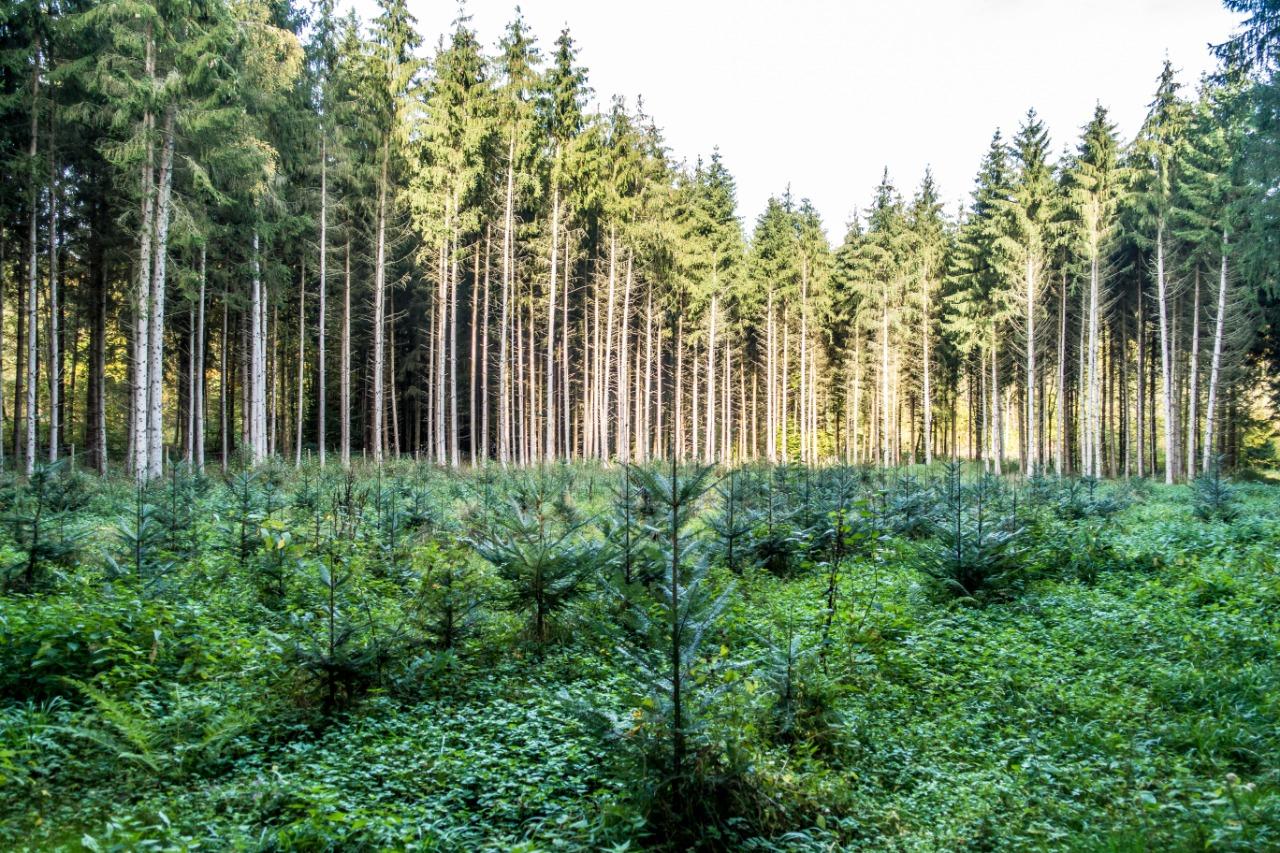 reflorestamento eucalipto