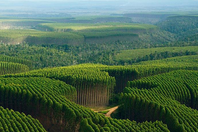 Florestas de Eucalipto: a verdade por trás dos mitos
