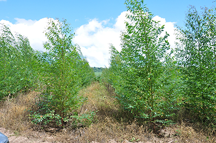 Plantio de Árvores de Eucalipto Potencial Florestal